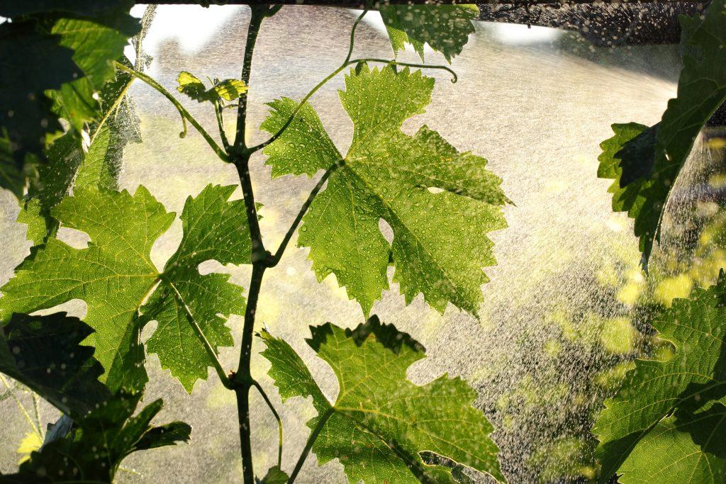 Обработка винограда пищевой содой с марганцовкой и йодом