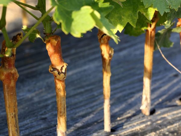 виноград прививка в штамб куста осенью