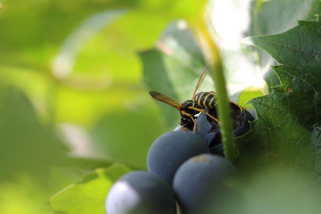 Методы борьбы с осами на винограднике