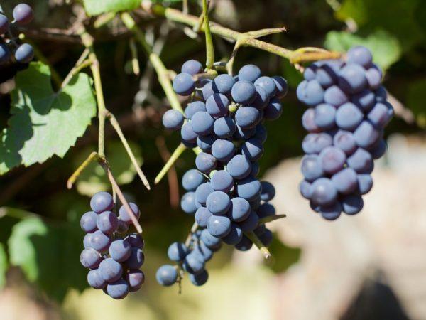 Причины опадания винограда