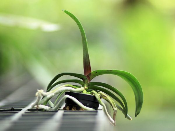 Почему сохнут корни у орхидеи