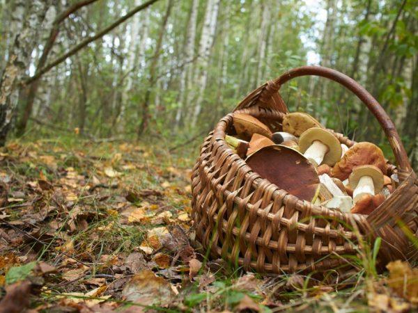 Урожайность грибов зависит от многих факторов