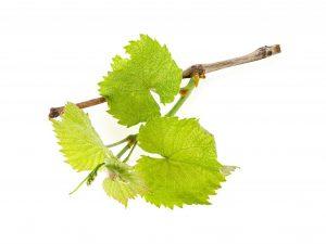 Особенности посадки винограда в контейнеры