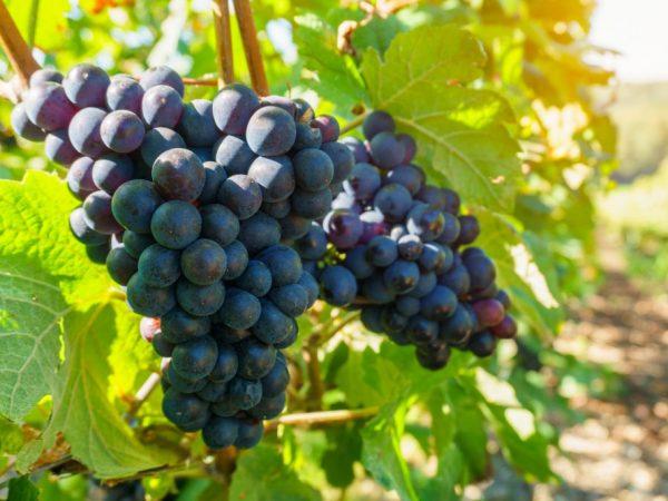 Выращивание сорта винограда селекции Потапенко