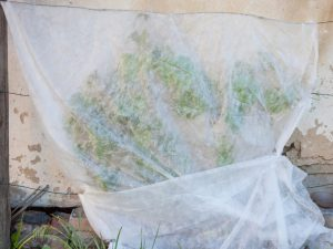 Температурный режим для укрытия винограда