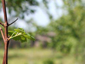Принцип проращивания черенков винограда