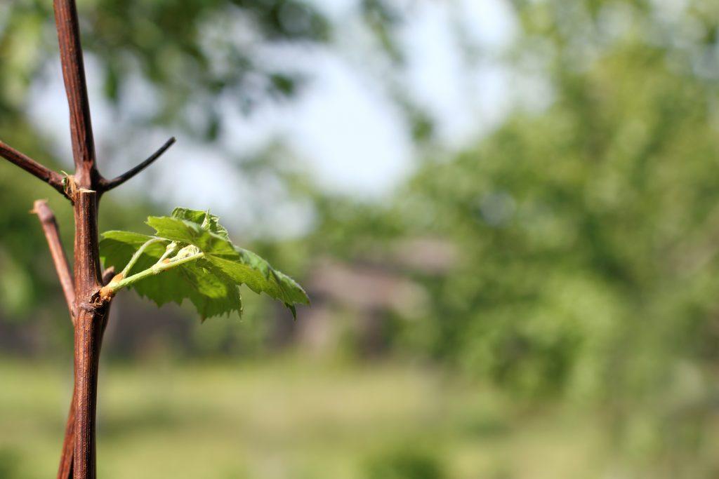Любимый способ как прорастить черенки винограда