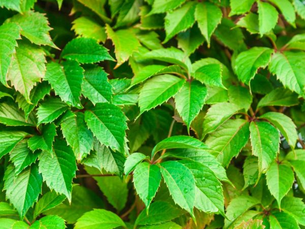 Растение хорошо поддаётся размножению черенками