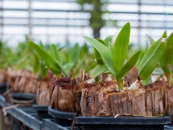 Размножение орхидеи фаленопсис может происходить делением материнского растения