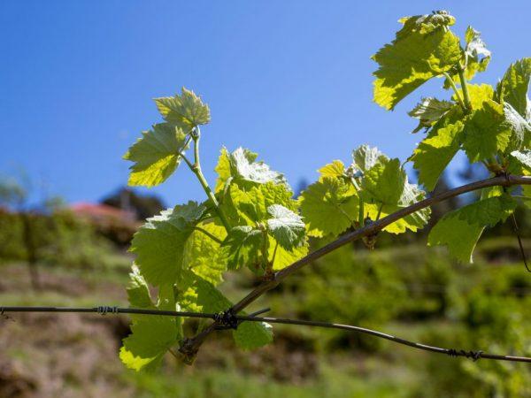 Виноград необходимо обильно поливать