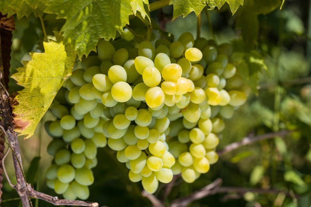 Описание винограда сорта Ркацители
