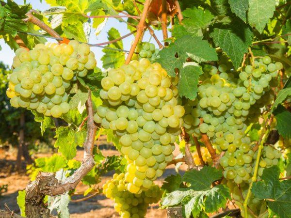 Выращивание винограда Русбол