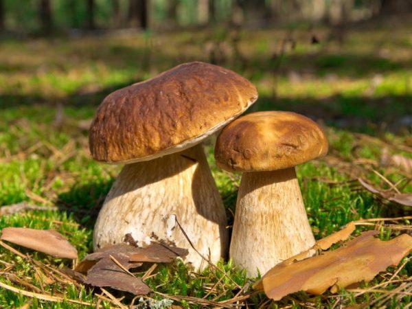 Молодые грибы очень вкусные