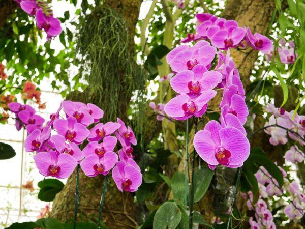 Орхидея Коулмана — редкий представитель семейства фаленопсис