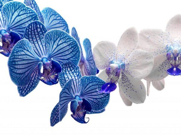 Цветок состоит из 3 чашелистиков одинакового размера