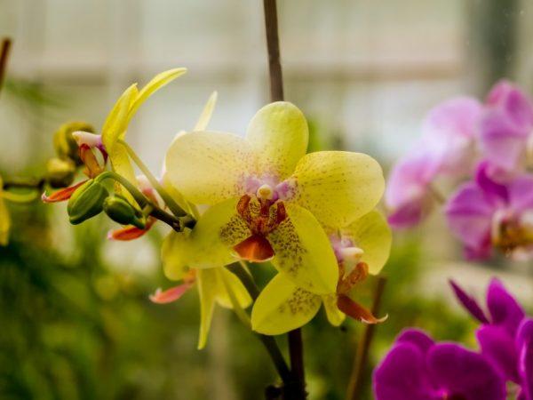 Гавайская болотная орхидея относится к семейству эндемиков