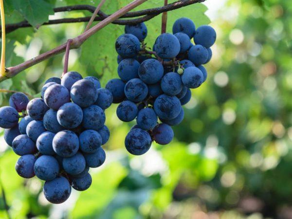 Выращивание винограда Северный плечистик