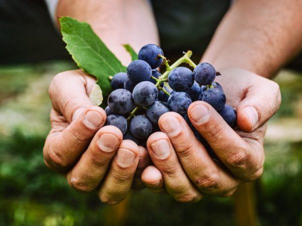 Плоды обладают сладким вкусом