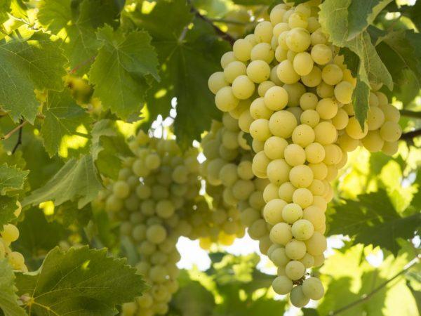 Выращивание винограда Солярис