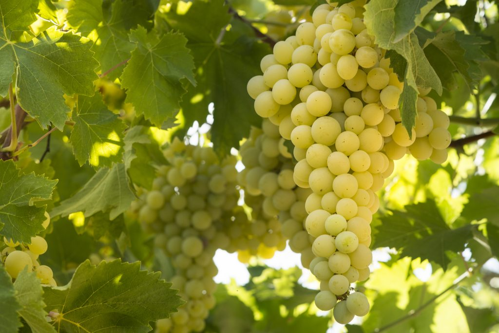 Солярис виноград описание сорта