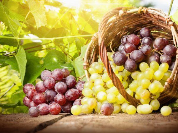 Сорта мускатного винограда