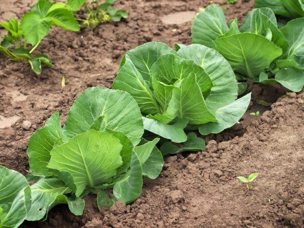 Сорта капусты для выращивания в открытом грунте