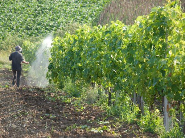 Применение Спасателя для винограда