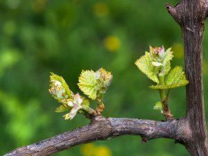 Сучок замещения на винограде