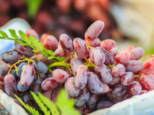 Описание винограда Талдун