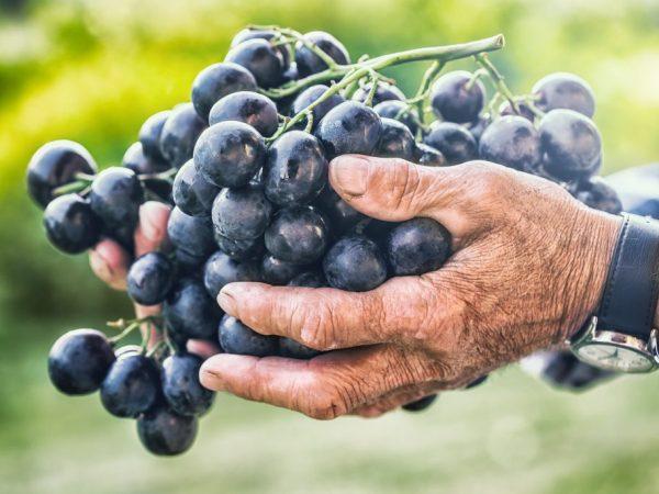 Ягоды имеют привкус вишни