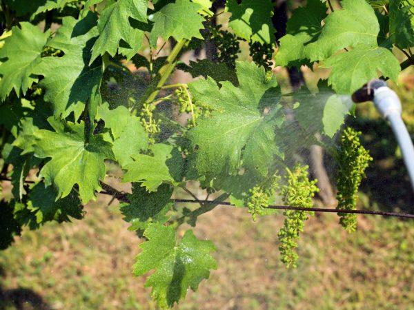 Применение препарата Тиовит Джет для винограда