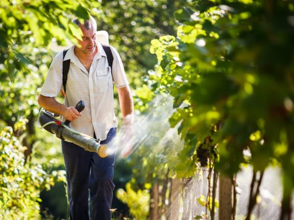Средство на растения наносится равномерно распылителем