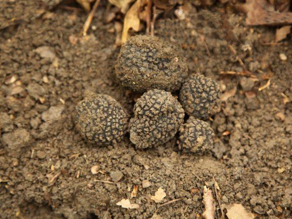Вкус гриба напоминает лесные орехи