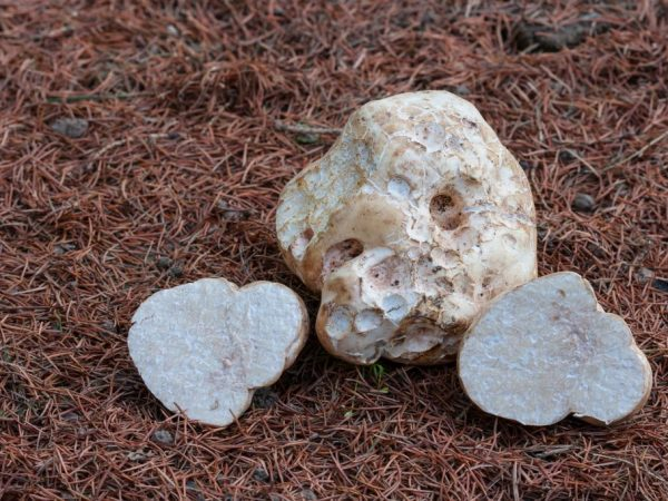 Для употребеления пригодны молодые грибы