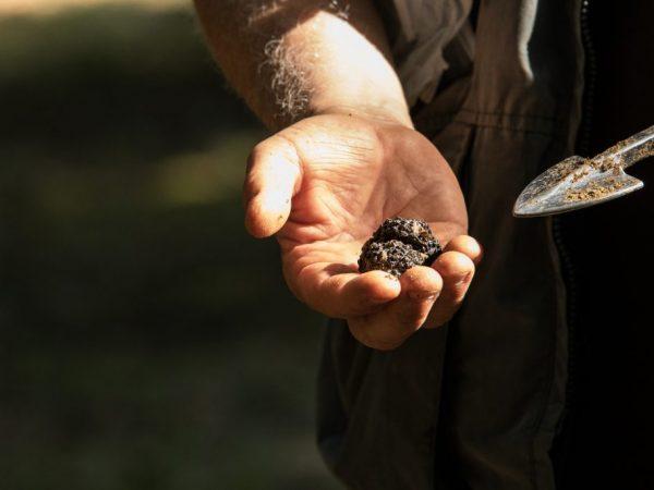 Трюфели выращивать долго и накладно
