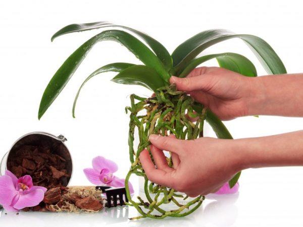 При неправильной пересадке орхидея может погибнуть