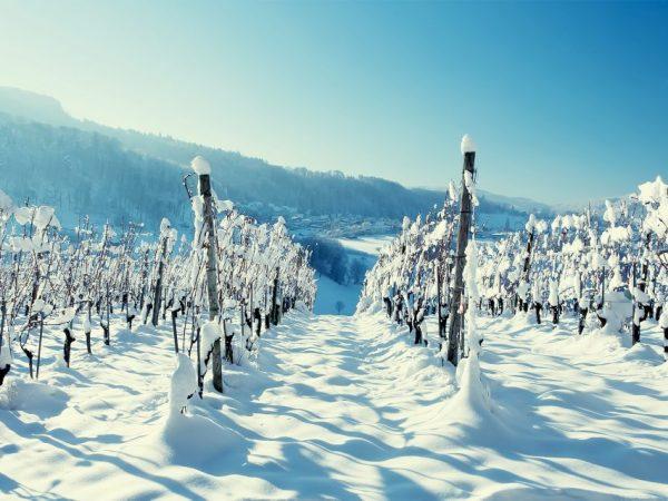 Способы укрытия винограда на зиму в Подмосковье
