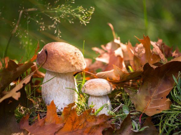Урожайность грибов зависит от погоды