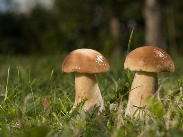 Рекомендуется ходить за грибами после дождей
