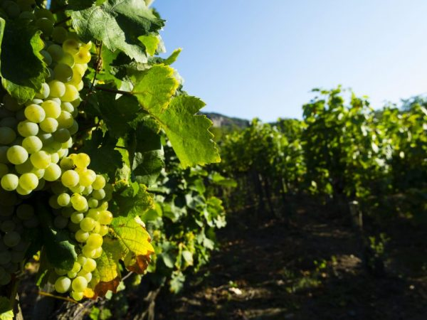 Виноград сорта Ванюша
