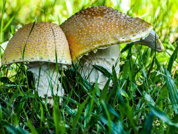 Ядовитые грибы очень опасны