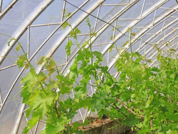 Правила выращивания винограда в теплице