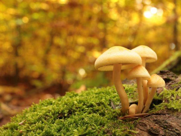 Виды ядовитых грибов Крыма