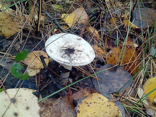 Отравляющее вещество аманитин в составе гриба представляет собой яд замедленного действия.