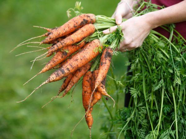 Правила посева после моркови