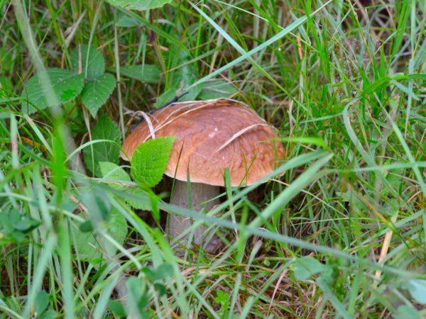 Условия роста белых грибов