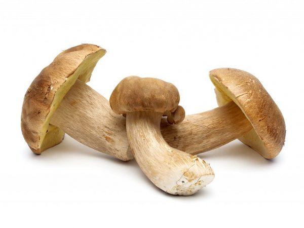 Белые грибы можно успешно выращивать в сарае