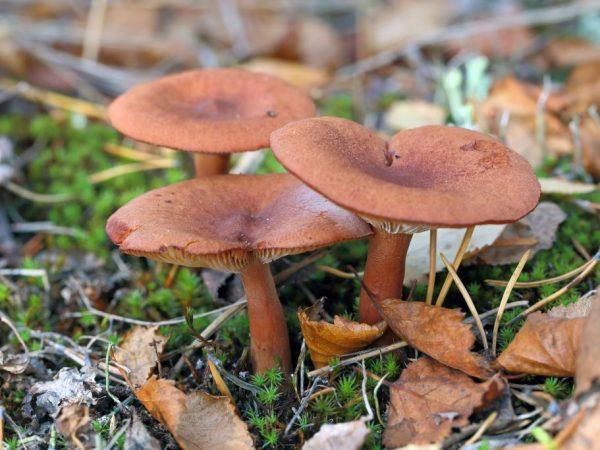 Особенности гриба горькушка