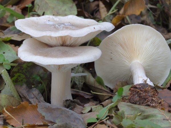 Содержание токсинов в грибе говорушка выше, чем в мухоморе