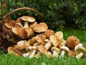 Виды грибов Карелии в 2018 году